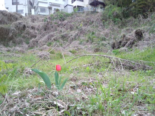 荒れ地に咲くチューリップ
