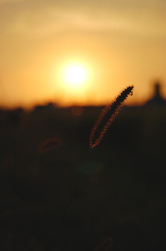 エノコログサと夕日