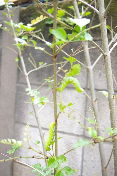 シマトネリコを巣食うモモスズメガの幼虫