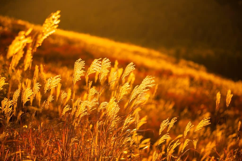秋のススキ原