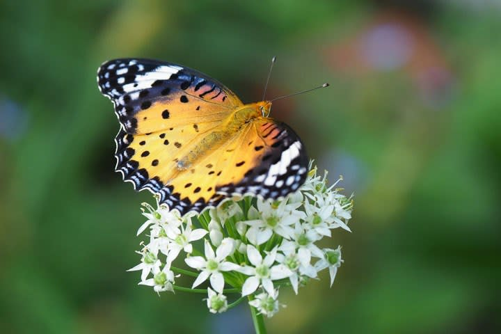 ツマグロヒョウモン♀とニラの花