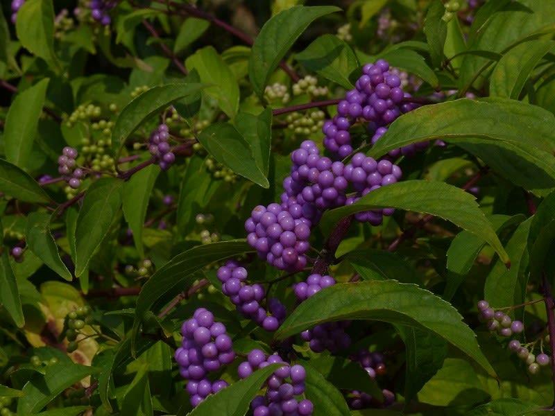 紫式部 コムラサキシキブ