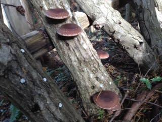 古木のシイタケ