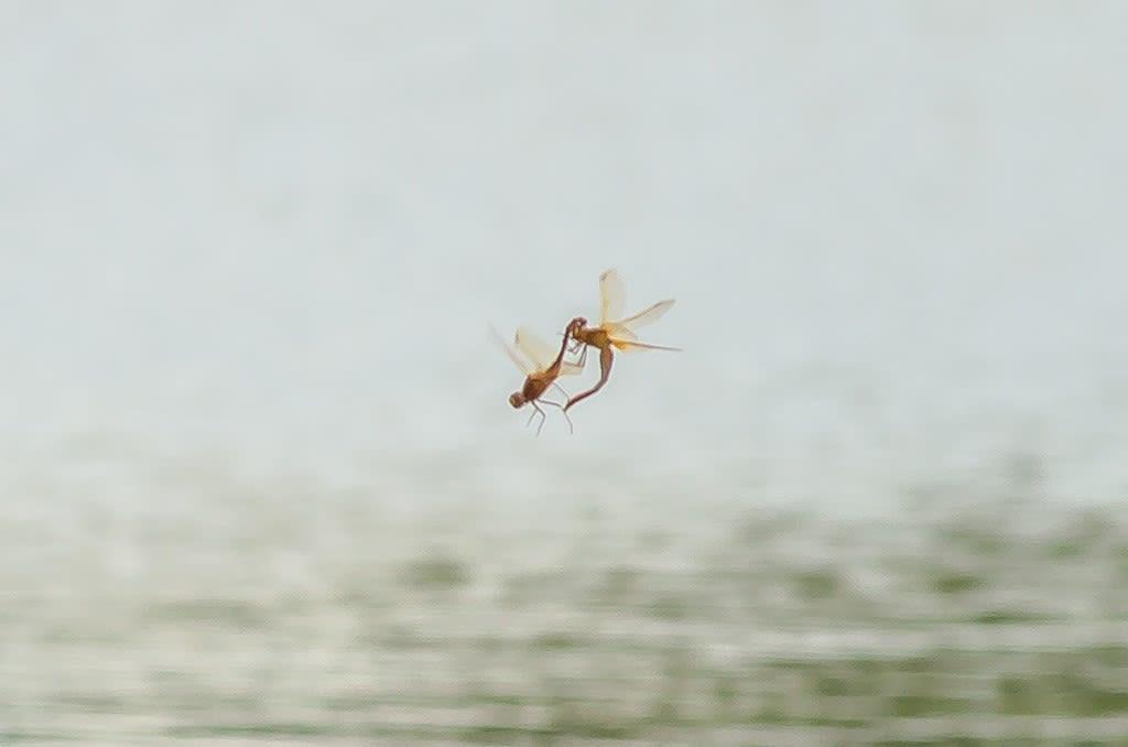 オオキトンボの連結飛翔写真
