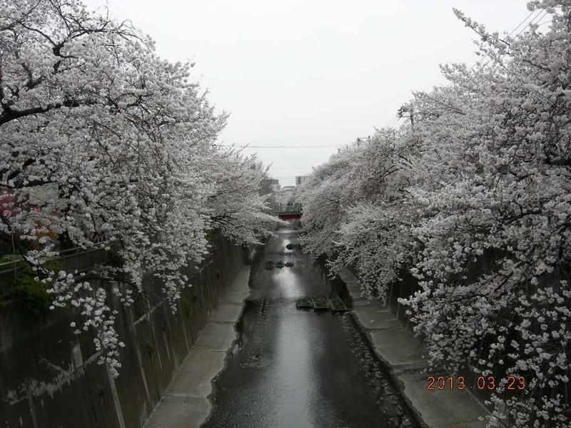 130323_shakujiigawa_sakura2_2