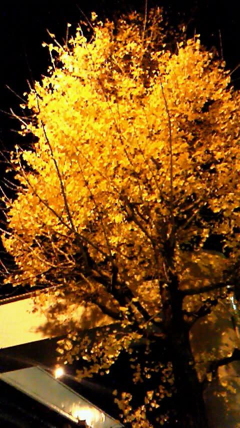 永田町の銀杏はライトアップされている