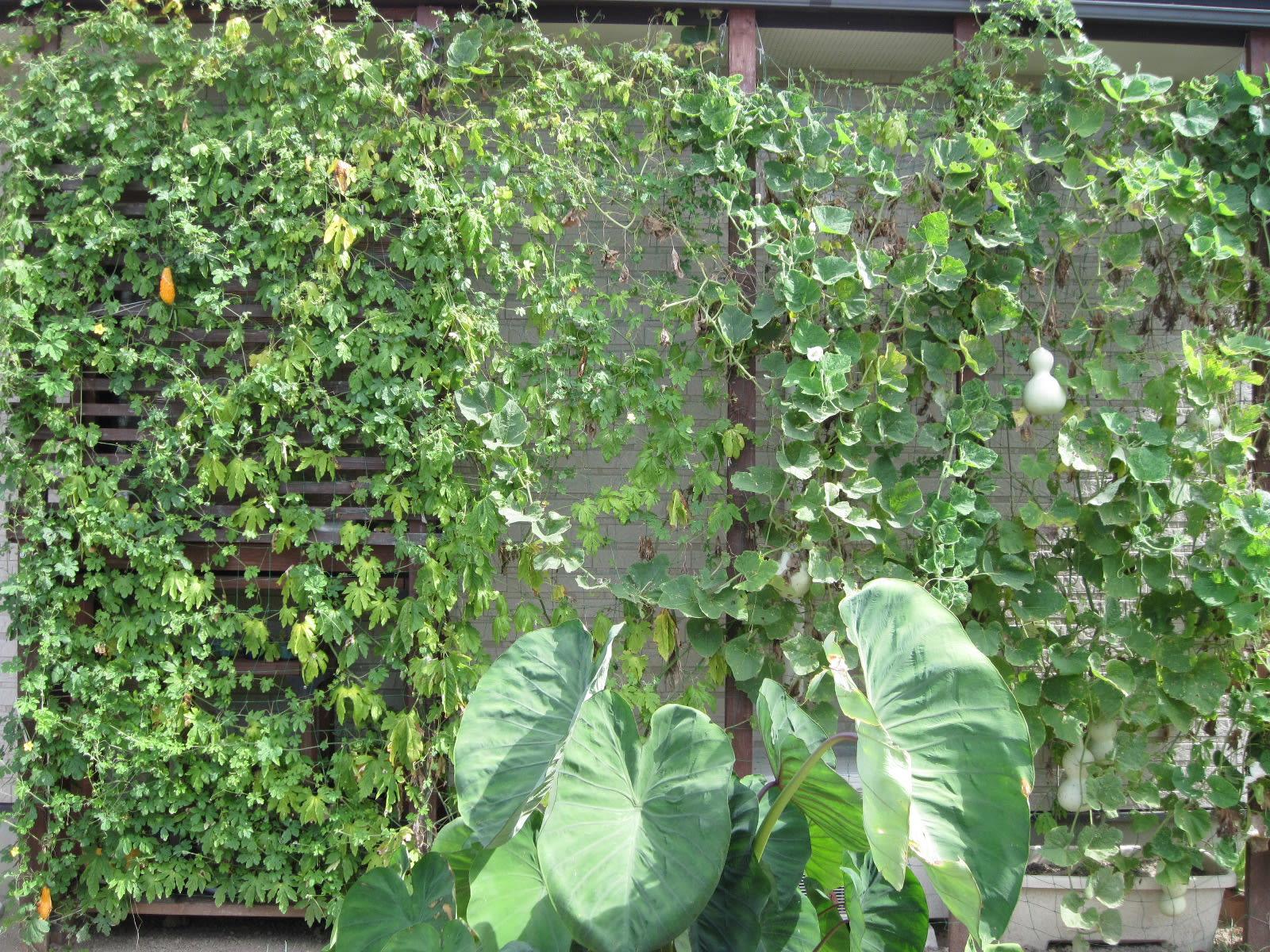 我が家の緑のカーテン・13・2010/09/30の画像