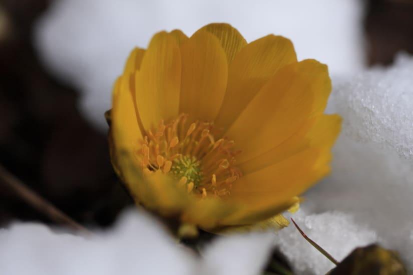 寒さ厳しい中福寿草の花は豪い - 陽だまりで写真