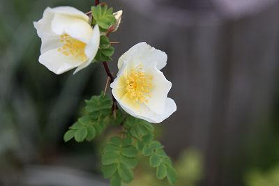 白花オオタカネバラ - 庭物語