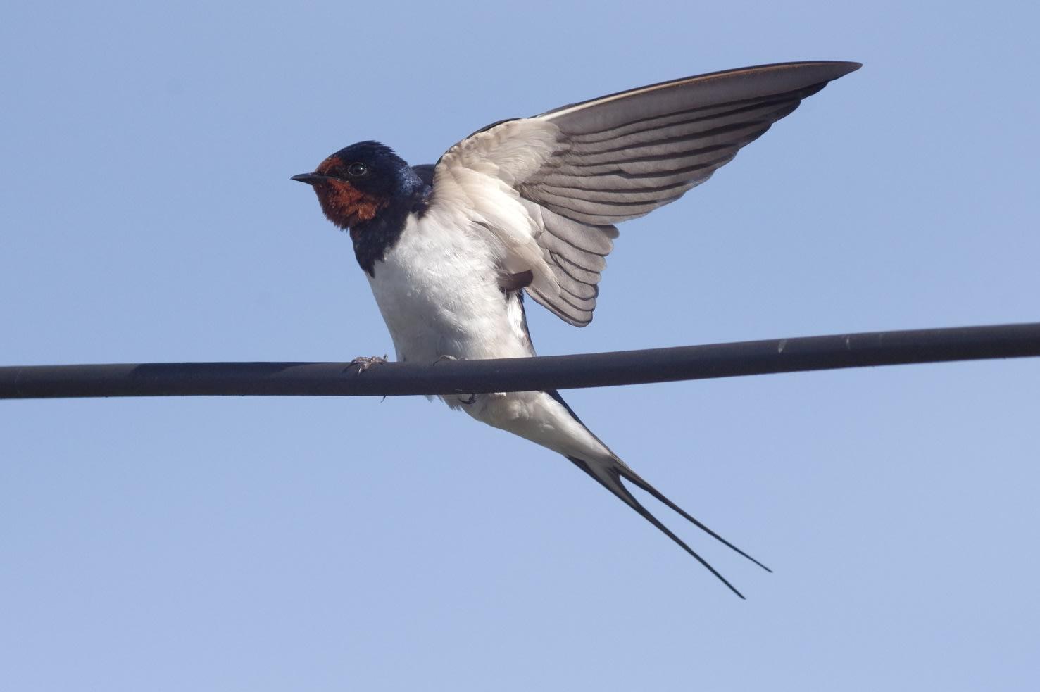 ツバメ (スズメ目ツバメ科) - 丹波の鳥さんたち