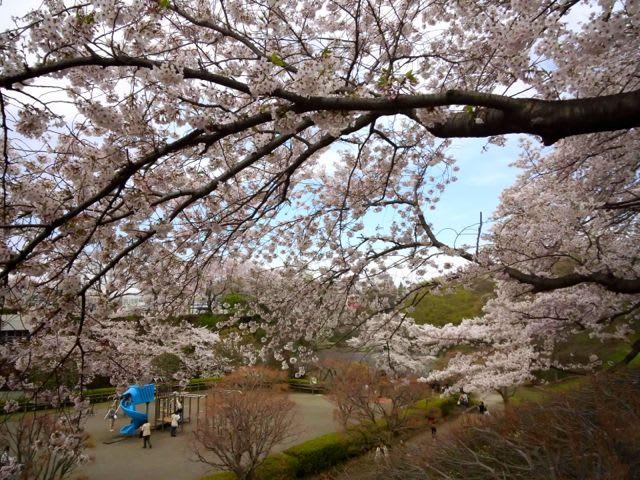 かにが沢公園の桜 - あられの日記