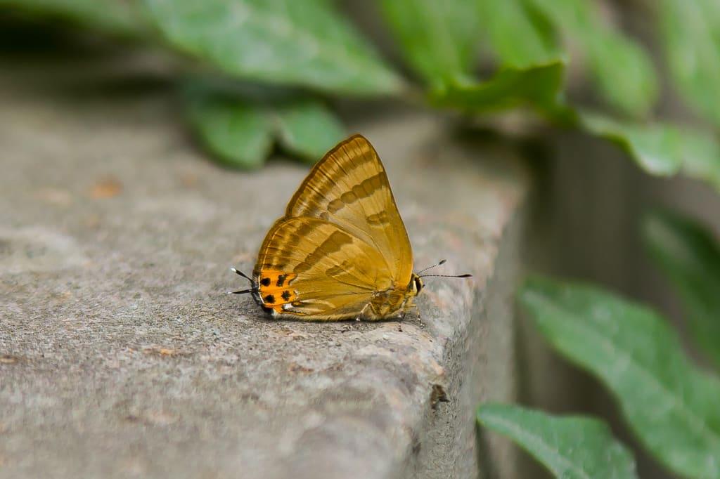 トラフシジミ(夏型)の写真
