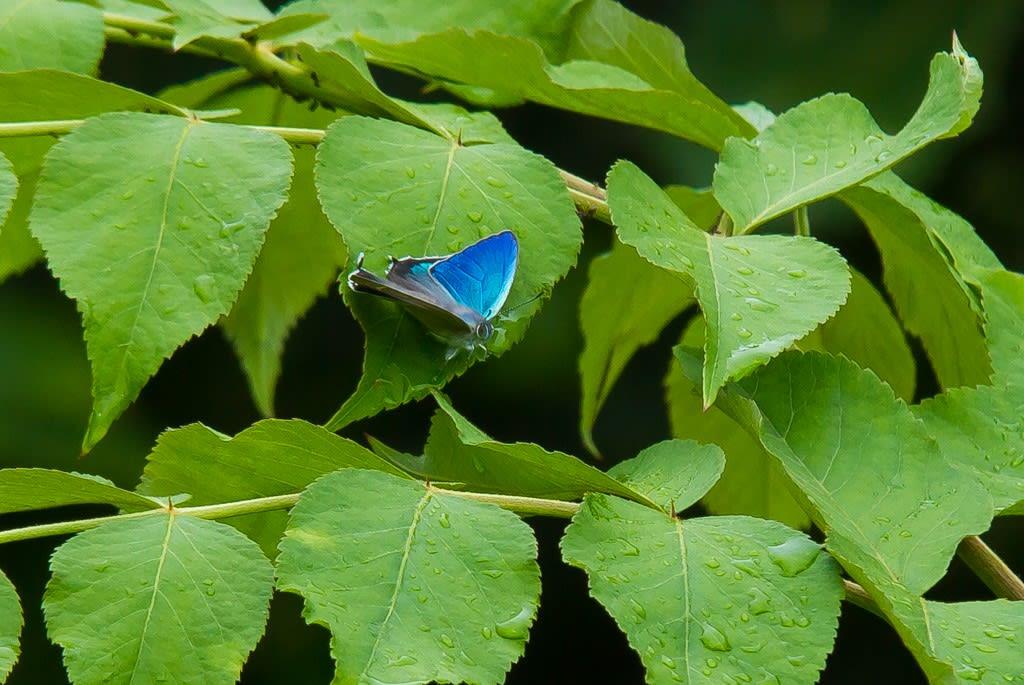 ハヤシミドリシジミの写真
