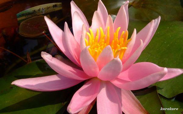 に 花 黄泉 咲く