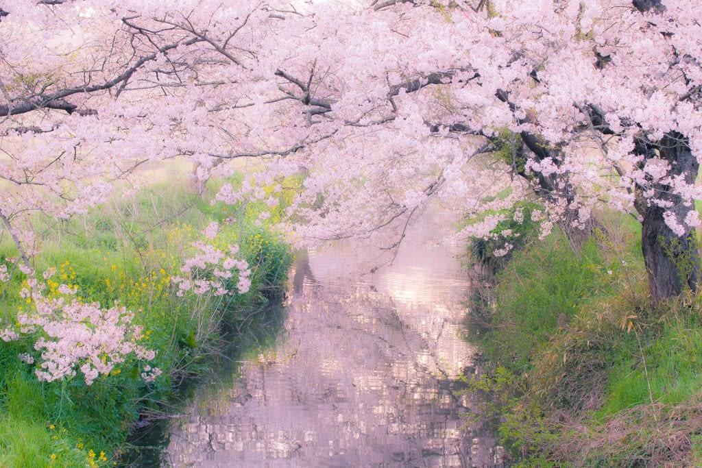 今井の桜の写真