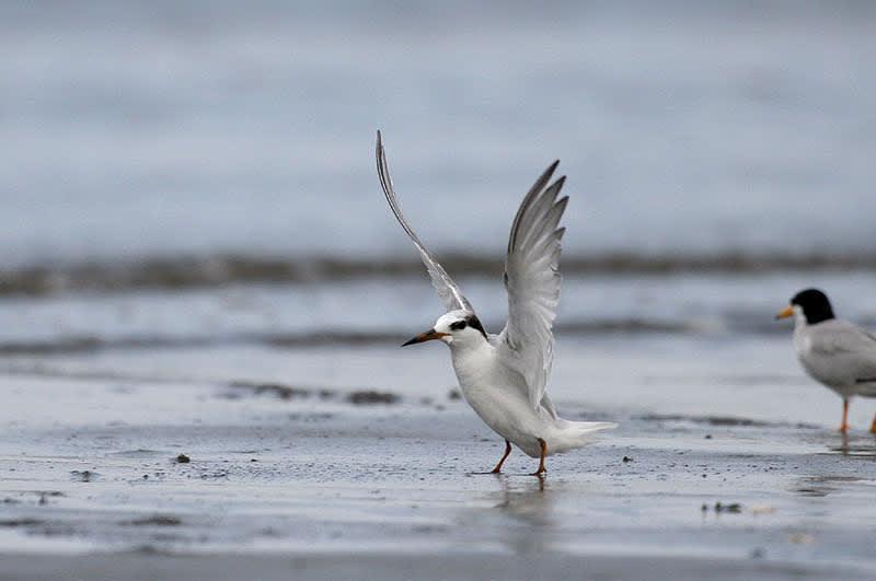 コアジサシ(冬羽) - よっちのバードフォト
