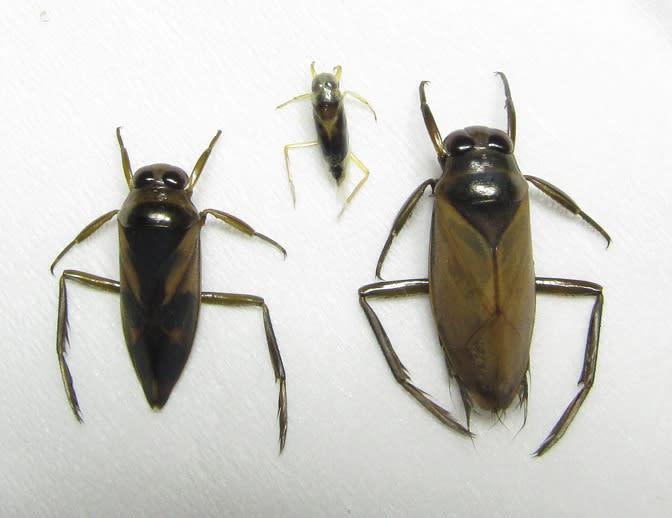 マツモムシ3種 - 最上の自然
