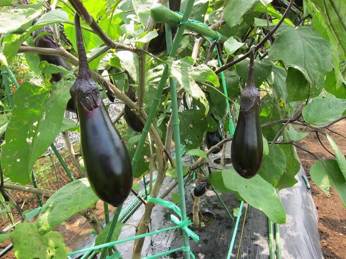 湘南農園  野菜作り