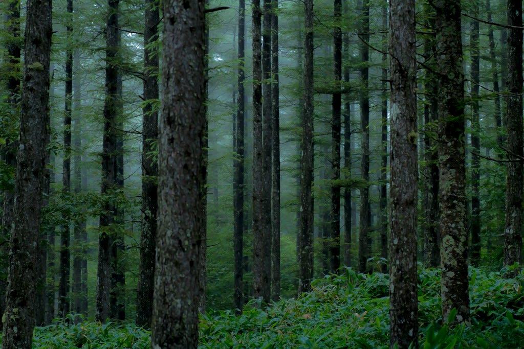 カラマツ林(緑)の写真