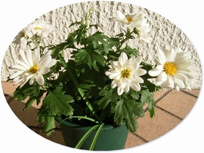 Myガーデンの白菊