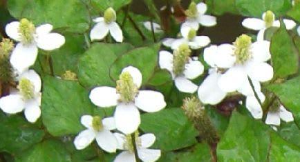 ドクダミの花ってかわいいんですね~