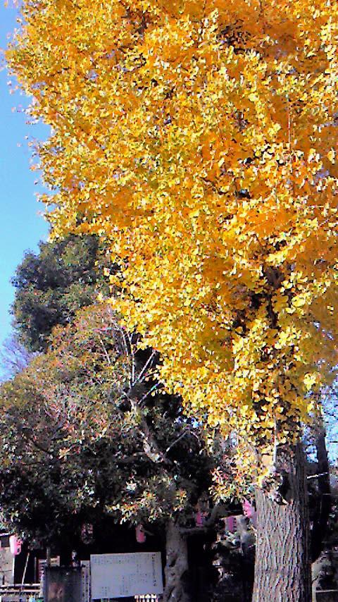 まだ、探せばあるはず。落葉寸前の銀杏の木。