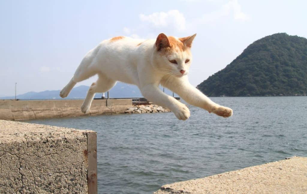 佐柳島の猫といったらジャンプ!。猫にとっては、こんな事は朝飯前の芸当です。