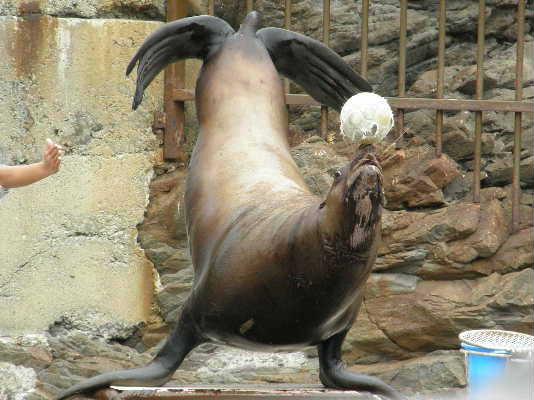 頭にボールをのせるトド