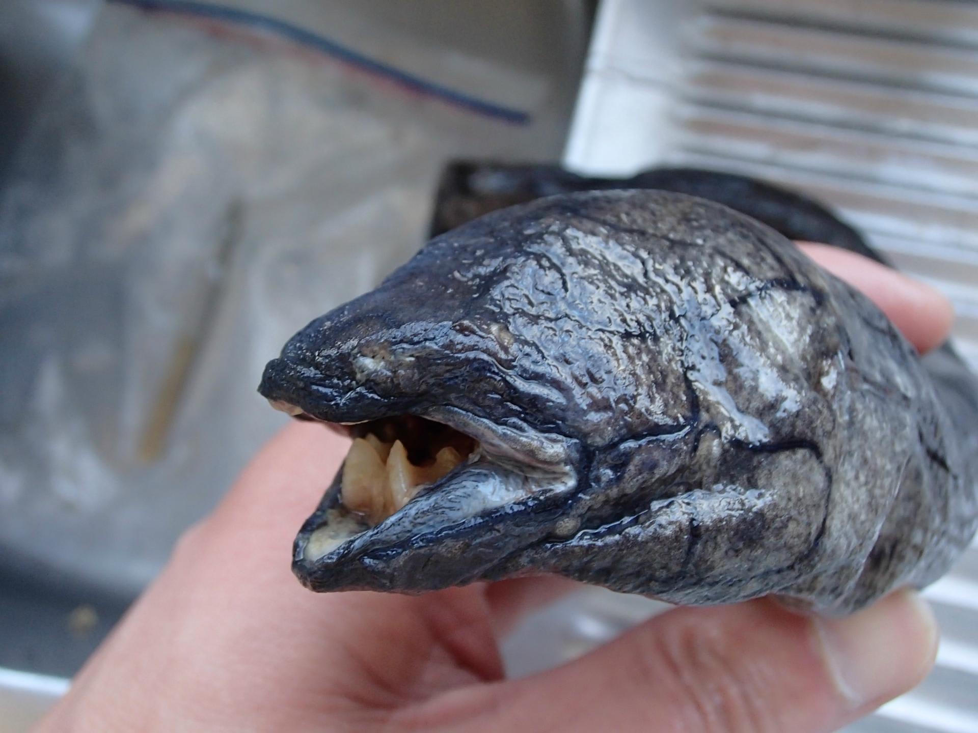 南米肺魚 - いぞらど isolado 魚...