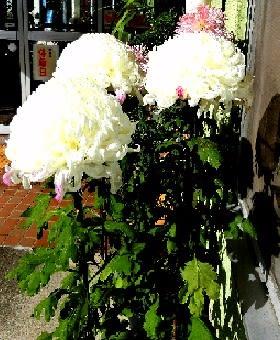 春はサクラ、秋はキク 日本を代表する花ですね!