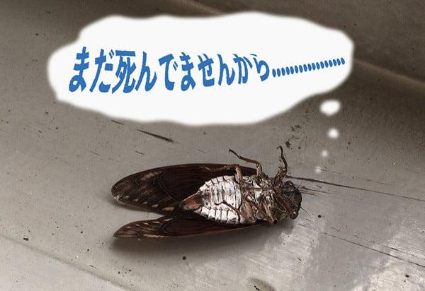 蝉 セミ ファイナル