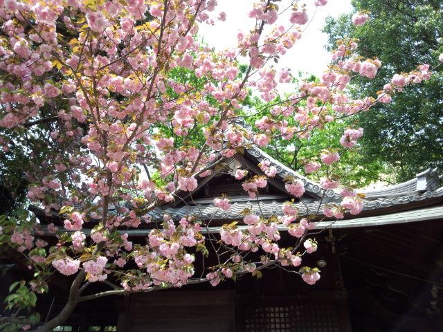 八重桜も散り始めました