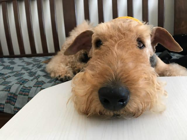 Resultado de imagen para Welsh Terrier 犬  食べる