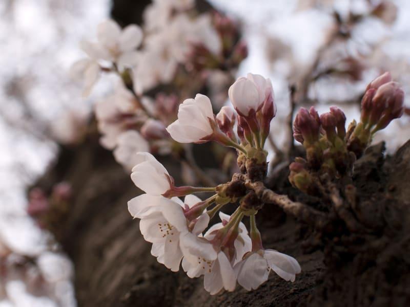 03月23日 桜の蕾