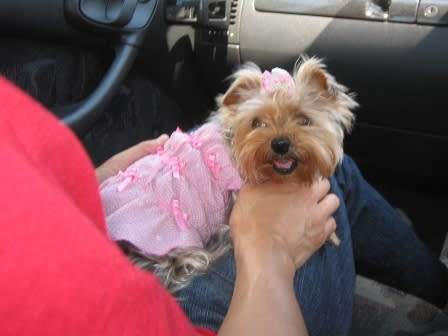 Image result for yorkie 犬 車で旅行する