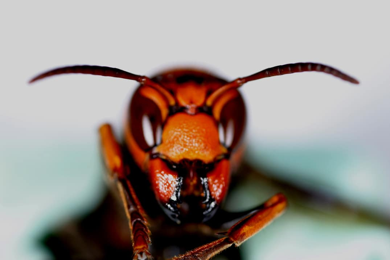 の 天敵 スズメバチ