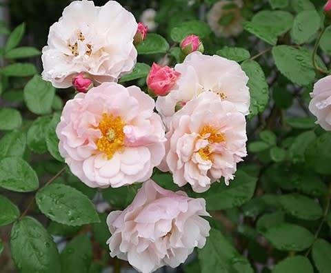 るんこんちのバラ