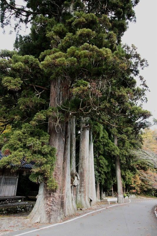 揖斐川町 日坂春日神社大杉 - 巨...