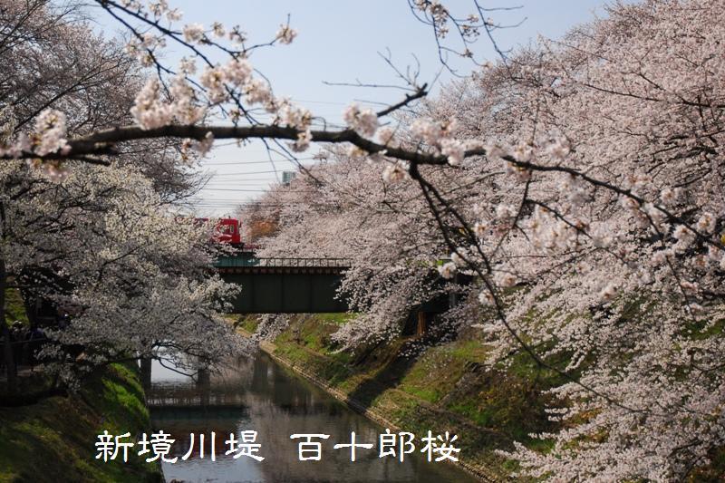 新境川堤 百十郎桜 - 岐阜をのんびり