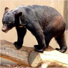 「クマに遭遇しました ←この記事どう思う?」の質問画像