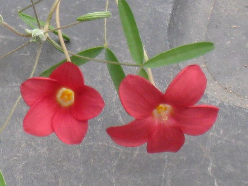 Oo001oxalishelicoides