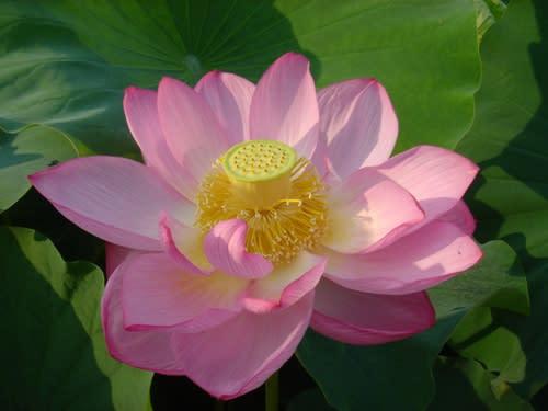 ハスの花その3