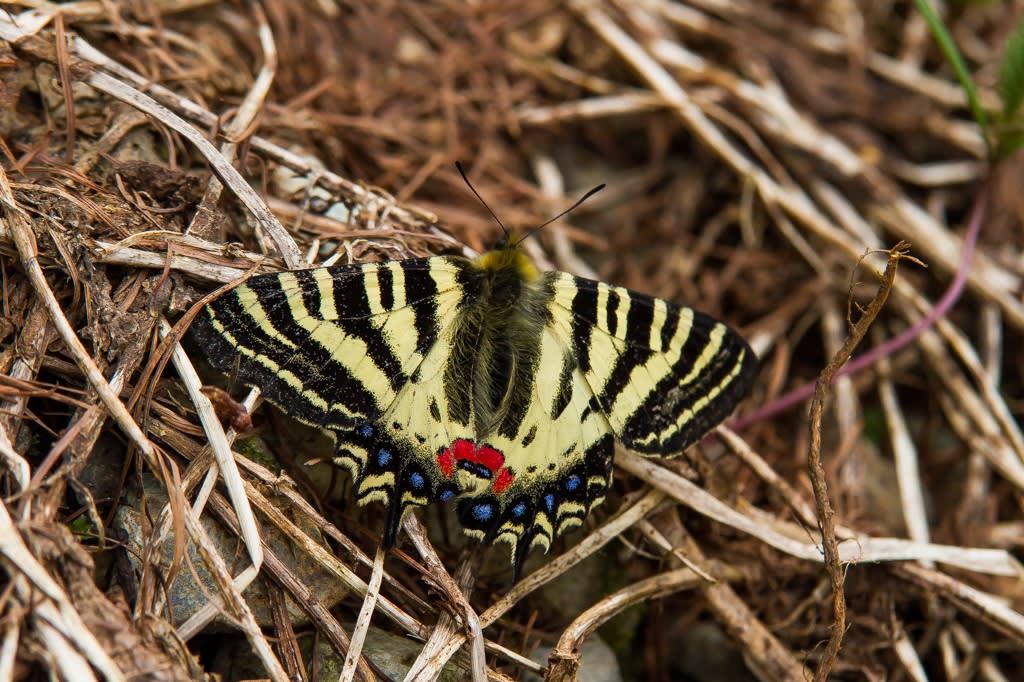 ヒメギフチョウの写真