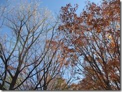 (2) クヌギ(左)はコナラ(右)より早く落葉を終えました