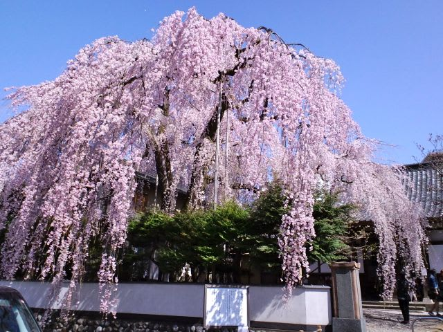超満開の高楽寺のしだれ桜 - あられの日記