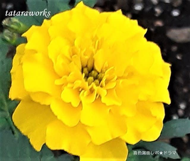 黄色いマリーゴールド画像 tataraworks 喜色満面レポ★ドラマ