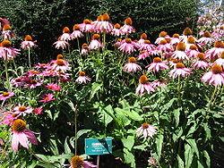 250pxrudbeckia_purpurea1