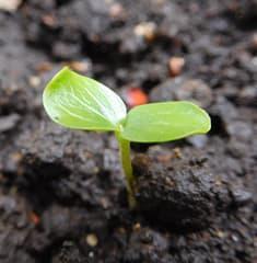 単子葉植物と双子葉植物 - 玉川...