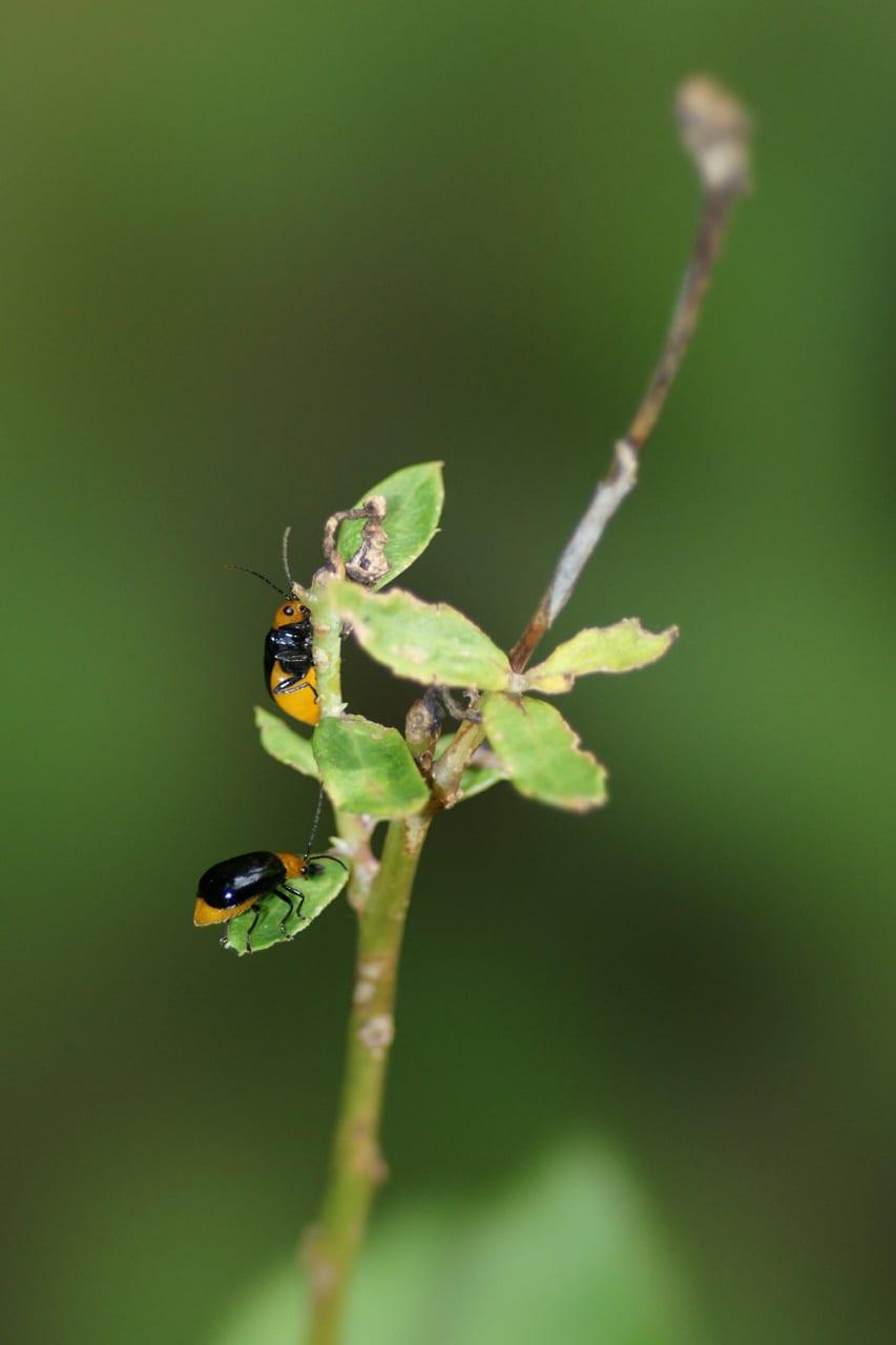 黒瓜羽虫 - 花鳥虫風月