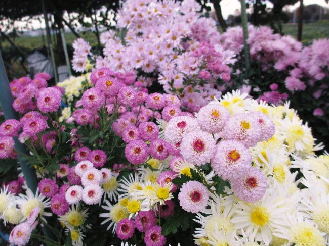 霜の前に菊の整理 - 四季のうつ...